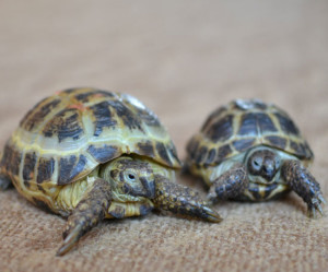 Среднеазиатская черепаха